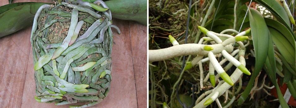 Как орхидеи нарастить корни