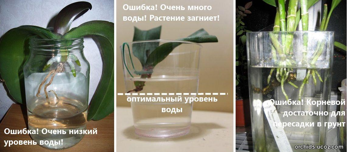 Орхидея в домашних условиях без корней 195